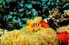 Ψάρια ΙΙΙ Clow Στοκ Εικόνες