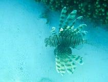 Ψάρια λιονταριών στη Maldivian κοραλλιογενή ύφαλο Στοκ Εικόνες