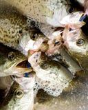 ψάρια κάδων Στοκ Εικόνες