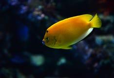 ψάρια κίτρινα Στοκ εικόνα με δικαίωμα ελεύθερης χρήσης