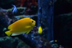 ψάρια κίτρινα Στοκ Φωτογραφίες