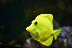ψάρια κίτρινα Στοκ φωτογραφία με δικαίωμα ελεύθερης χρήσης
