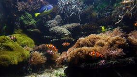 Ψάρια και κοράλλι κλόουν στενά απόθεμα βίντεο