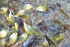 Ψάρια και κυπρίνος Pangasius Στοκ φωτογραφία με δικαίωμα ελεύθερης χρήσης