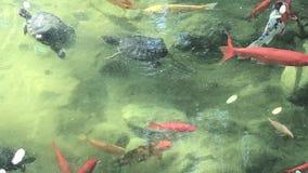 Ψάρια και χελώνες που κολυμπούν σε μια λίμνη koi απόθεμα βίντεο