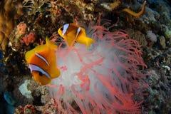 Ψάρια και anemone κλόουν - Ερυθρά Θάλασσα Στοκ Εικόνες