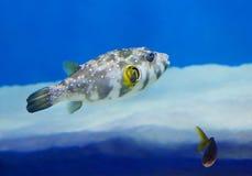 Ψάρια & x28 καπνιστών Τροπικό Fish& x29  Στοκ Φωτογραφία