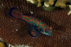 Ψάρια κινεζικής γλώσσας πέρα από ένα σκληρό κοράλλι, πυροβολισμός στο Παλάου Μικρονησία στοκ φωτογραφία με δικαίωμα ελεύθερης χρήσης