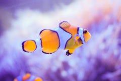 Ψάρια κινούμενων σχεδίων κοντά στο anemone θάλασσας Στοκ φωτογραφίες με δικαίωμα ελεύθερης χρήσης