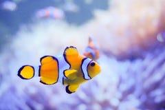 Ψάρια κινούμενων σχεδίων κοντά στο anemone θάλασσας Στοκ Εικόνα