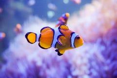 Ψάρια κινούμενων σχεδίων κοντά στο anemone θάλασσας Στοκ φωτογραφία με δικαίωμα ελεύθερης χρήσης
