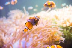Ψάρια κινούμενων σχεδίων κοντά στο anemone θάλασσας Στοκ Φωτογραφία