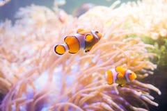 Ψάρια κινούμενων σχεδίων κοντά στο anemone θάλασσας Στοκ εικόνα με δικαίωμα ελεύθερης χρήσης