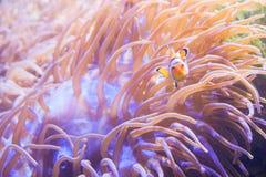 Ψάρια κινούμενων σχεδίων κοντά στο anemone θάλασσας Στοκ εικόνες με δικαίωμα ελεύθερης χρήσης