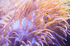 Ψάρια κινούμενων σχεδίων κοντά στο anemone θάλασσας Στοκ Εικόνες