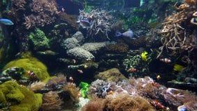 Ψάρια κλόουν και άλλα στο κοράλλι στενό απόθεμα βίντεο