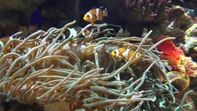 Ψάρια κλόουν και anemone θάλασσας απόθεμα βίντεο