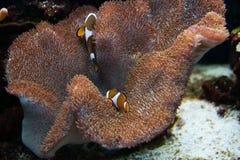 Ψάρια κλόουν με Anemone Στοκ Εικόνες