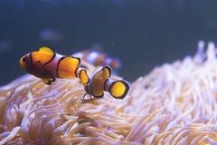 Ψάρια κλόουν που κολυμπούν στη θάλασσα anemones στο ενυδρείο Στοκ εικόνα με δικαίωμα ελεύθερης χρήσης
