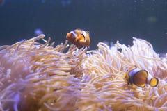 Ψάρια κλόουν που κολυμπούν στη θάλασσα anemones στο ενυδρείο Στοκ εικόνες με δικαίωμα ελεύθερης χρήσης