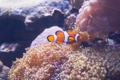 Ψάρια κλόουν που κολυμπούν στη θάλασσα anemones στο ενυδρείο Στοκ Φωτογραφίες