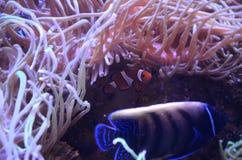 Ψάρια κλόουν στα ρόδινα κοράλλια στοκ φωτογραφία με δικαίωμα ελεύθερης χρήσης