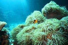 Ψάρια κλόουν στα anemones Στοκ εικόνα με δικαίωμα ελεύθερης χρήσης