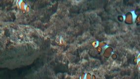 Ψάρια κλόουν στη δεξαμενή ψαριών φιλμ μικρού μήκους