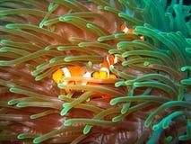 ψάρια κλόουν τροπικά Στοκ φωτογραφίες με δικαίωμα ελεύθερης χρήσης
