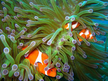 ψάρια κλόουν τροπικά Στοκ φωτογραφία με δικαίωμα ελεύθερης χρήσης