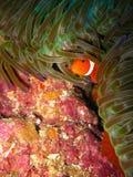 ψάρια κλόουν τροπικά Στοκ Φωτογραφίες