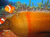 ψάρια κλόουν τροπικά Στοκ Φωτογραφία