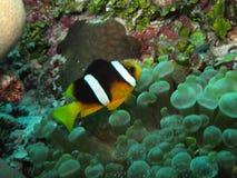 ψάρια κλόουν Στοκ εικόνες με δικαίωμα ελεύθερης χρήσης