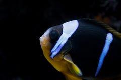 ψάρια κλόουν στοκ εικόνες
