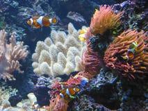 ψάρια κλόουν Στοκ Εικόνα