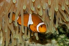 ψάρια κλόουν anemone Στοκ Φωτογραφία