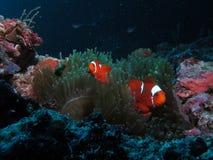 Ψάρια κλώνων Στοκ Εικόνες
