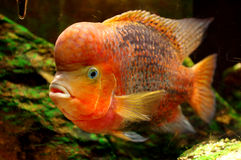 Ψάρια κοκκινομάλλες Cichlid Στοκ εικόνα με δικαίωμα ελεύθερης χρήσης