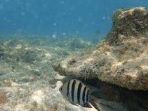 Ψάρια κοντά σε μια πέτρα σκοπέλων Στοκ Εικόνες