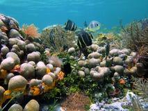 ψάρια κοραλλιών αγγέλων Στοκ εικόνα με δικαίωμα ελεύθερης χρήσης