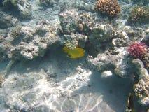 ψάρια κοραλλιών κίτρινα Στοκ εικόνα με δικαίωμα ελεύθερης χρήσης