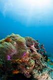 Ψάρια κοραλλιογενών υφάλων και anemone Στοκ Φωτογραφίες