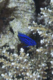 Ψάρια κοραλλιών από το νησί Balicasan, Φιλιππίνες Στοκ εικόνα με δικαίωμα ελεύθερης χρήσης