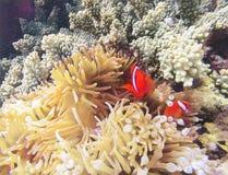 Ψάρια κοραλλιών στη χλωμή ψηφιακή απεικόνιση ακτηνιών Πορτοκάλι clownfish στο κίτρινο ακτηνία στοκ εικόνες