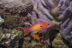 Ψάρια κοραλλιών - squamipinnis Pseudanthias Στοκ εικόνα με δικαίωμα ελεύθερης χρήσης