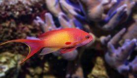 Ψάρια κοραλλιών - squamipinnis Pseudanthias Στοκ Εικόνες
