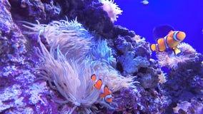 Ψάρια κορωνών απόθεμα βίντεο