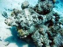 Ψάρια κροκοδείλων, επισημασμένου flat-headed - αρπακτικό ζώο της Ερυθράς Θά στοκ εικόνα με δικαίωμα ελεύθερης χρήσης