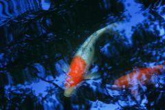 Ψάρια κυπρίνων στο μπλε ελαφρύ νερό στοκ φωτογραφίες