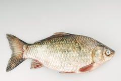 ψάρια κυπρίνων φρέσκα Στοκ φωτογραφία με δικαίωμα ελεύθερης χρήσης